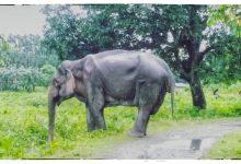 Injured Wild Elephant