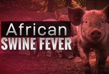 African swine fever hits Tripura after Mizoram